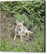 Colorado Coyote Acrylic Print