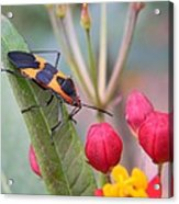 Colorful Aphid Acrylic Print