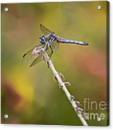Colorful Dragonfly Dream Acrylic Print