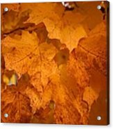 Colorful Maple Leaves In Fall Acrylic Print