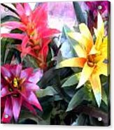 Colorful Mixed Bromeliads Acrylic Print