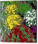 Colorful Mums Photo Art Acrylic Print