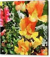 Colorful Snapdragons Acrylic Print