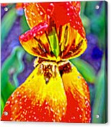 Colorful Tulip Acrylic Print