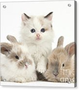 Colorpoint Kitten With Baby Rabbits Acrylic Print