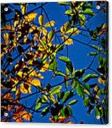 Colors Of The Autumn Elm Acrylic Print