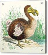 Coloured Engraving Of A Dodo Acrylic Print