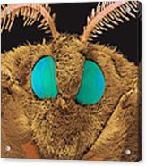 Coloured Sem Of The Head Of A Silk Moth, Bombyx Sp Acrylic Print