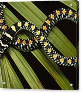 Colubrid Snake Boiga Sp A Flying Snake Acrylic Print