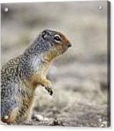Columbian Ground Squirrel, Banff Acrylic Print