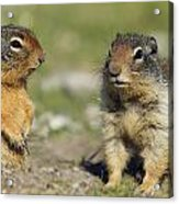 Columbian Ground Squirrels, Banff Acrylic Print