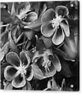 Columbine In Black And White Acrylic Print