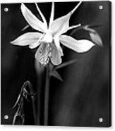 Columbine Acrylic Print