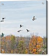 Coming In For Landing Acrylic Print