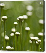 Coming Up Daisies Abstract Acrylic Print