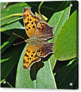 Comma Anglewing Butterfly - Polygonia C-album Acrylic Print