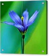 Common Blue Eyed Grass Sisyrinchium Acrylic Print