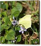 Common Brimstone Acrylic Print