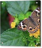 Common Buckeye II Acrylic Print