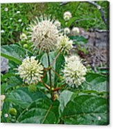 Common Buttonbush - Cephalanthus Occidentalis Acrylic Print