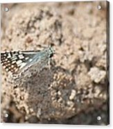 Common Checkered Skipper 8793 3421 Acrylic Print