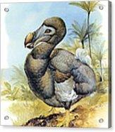 Common Dodo Acrylic Print