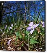 Common Dog-violet Acrylic Print