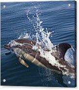 Common Dolphin Delphinus Delphis Acrylic Print