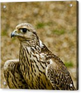 Common Female Kestrel Acrylic Print
