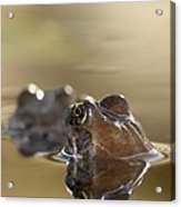 Common Frog (rana Temporaria) In Pond Acrylic Print