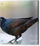 Common Grackle Acrylic Print