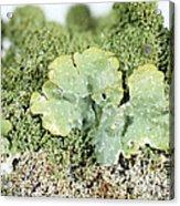 Common Greenshield Lichen Acrylic Print
