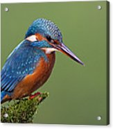 Common Kingfisher Alcedo Atthis Acrylic Print