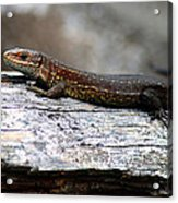 Common Lizard Acrylic Print