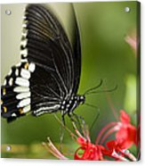 Common Mormon Butterfly Acrylic Print