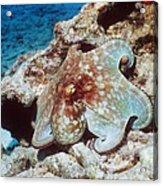 Common Octopus Acrylic Print