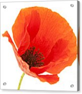 Common Poppy Flower Acrylic Print