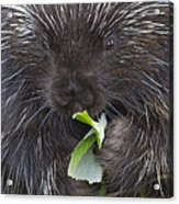 Common Porcupine Erethizon Dorsatum Acrylic Print