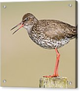 Common Redshank Tringa Totanus Calling Acrylic Print