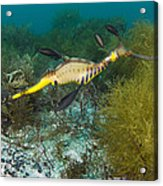 Common Sea Dragon Acrylic Print