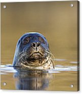 Common Seal Acrylic Print