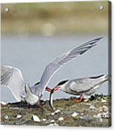Common Terns Acrylic Print by Duncan Shaw
