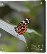 Common Tiger Glassywing Acrylic Print