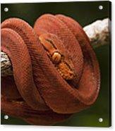 Common Tree Boa Corallus Hortulanus Acrylic Print