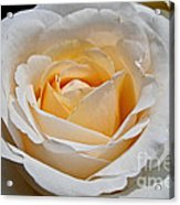 Common Wealth Glory Rose Acrylic Print