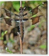 Common Whitetail Dragonfly - Plathemis Lydia - Female Acrylic Print