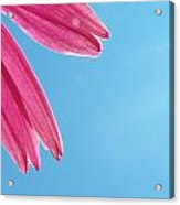 Cone Flower And Blue Sky Acrylic Print