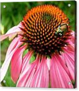 Cone Flower And Guest Acrylic Print