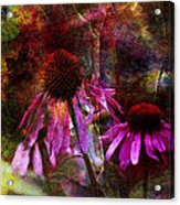 Cone Flower Beauties Acrylic Print by J Larry Walker