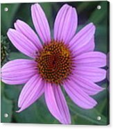 Cone Flower Acrylic Print by Linda Pope